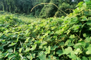 photo de kudzu
